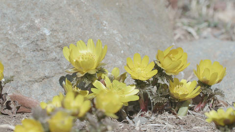 Flowers of Amur adonis,in Showa Memorial Park,Tokyo,Japan,Filmed in 4K Footage