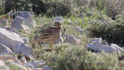 Stone Curlew Footage
