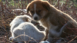 Feral dog puppies Footage