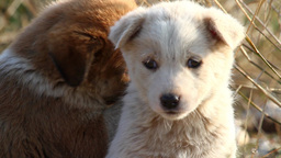 Feral dog puppies playing Footage