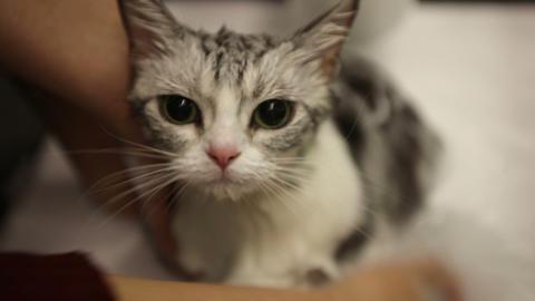 American Shorthair cat take milk bath Footage