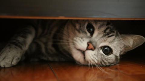 American Shorthair cat Footage
