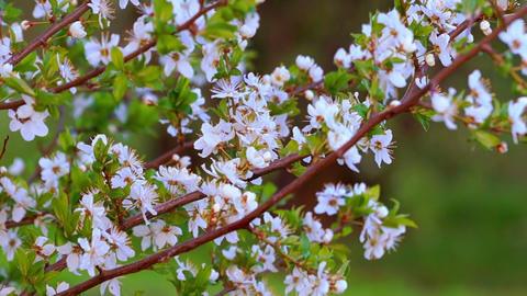 Spring Evening in the Cherry Garden Footage