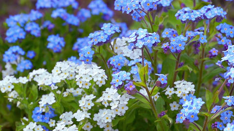 Blue and White Forget Me Not Footage