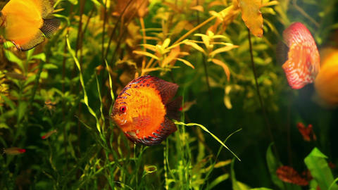 amazon yellow discus Footage