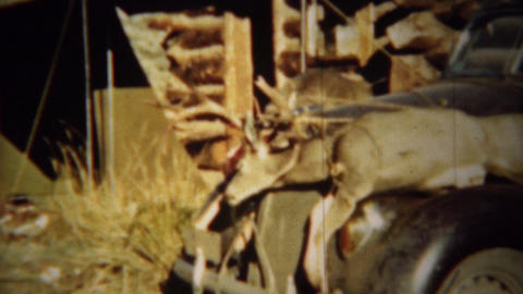 1939: Two dead whitetail deer tied down to Lincoln car hood for transport Footage