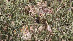 Ornate mastigure lizard eating Footage