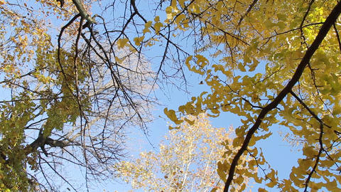 Ginkgo / Autumn Colors / Yellow Leaves / Looking Up - Rotation/Fix ビデオ