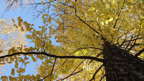Ginkgo / Autumn Colors / Yellow Leaves / Looking Up -... 動画素材, ムービー映像素材