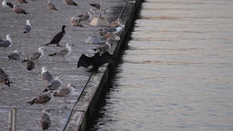 Cormorant drying wings between seagulls Footage