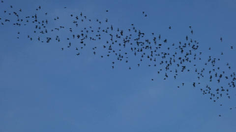 Bats flying on blue sky in evening Image
