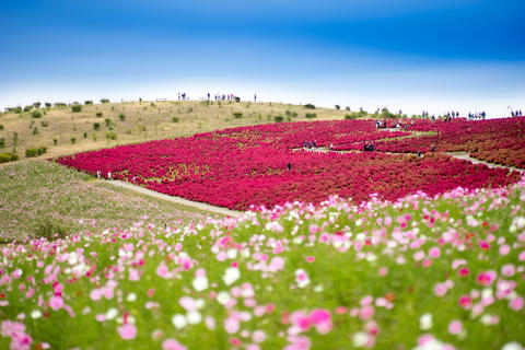 Red Kochia Scoparia and Cosmos Flower Field in Autumn Photo