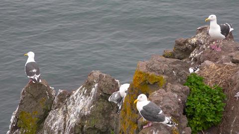 Seagulls. Sea Safari journey along the Kamchatka Peninsula. Russia Live Action