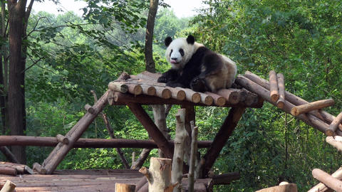 Chengdu Research Base of Giant Panda Breeding In China Filmmaterial