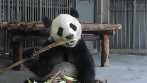 Giant Panda In China Asia Animal Eating In Chinese Zoo Footage