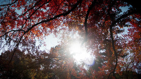 Sun shines through red autumn leaves timelapse Footage