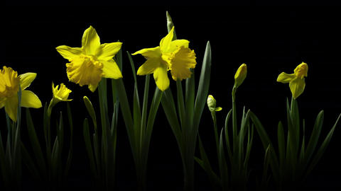 Yellow daffodils blooming timelapse background Footage