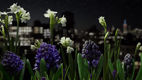 Flowers blooming timelapse with city and stars Footage