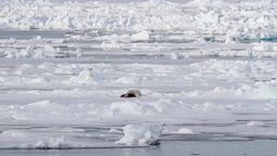 Polar bear feeding from a seal Footage