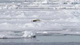 Polar bear feeding Footage