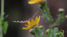 Painted lady butterfly on yellow in flower Footage