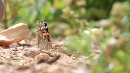 Painted lady butterfly on the ground Footage