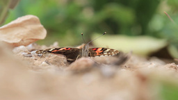 Painted lady butterfly Footage