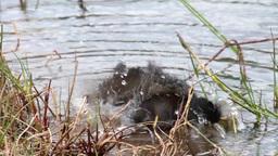 Starling bird bathing Footage