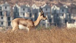 Israeli mountain gazelle eating Footage