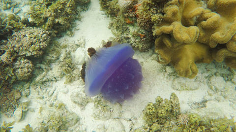 Beautiful jellyfish in tropical sea Footage