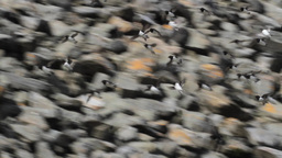 Little auk colony flying in the mountains of Spitsbergen Footage
