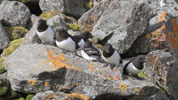 Little auk colony in the mountains of Spitsbergen Footage