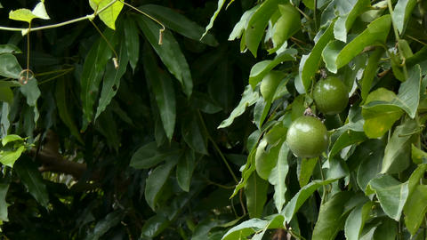4K Fresh unripe passion fruit on nature wood High vitamin and nutrition Organic Footage