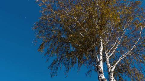 Autumn trees with yellowing leaves against the sky Footage