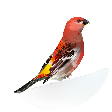 Red Bird, Pine Grosbeak フォト
