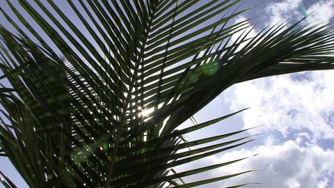 Palm tree Leaf Footage