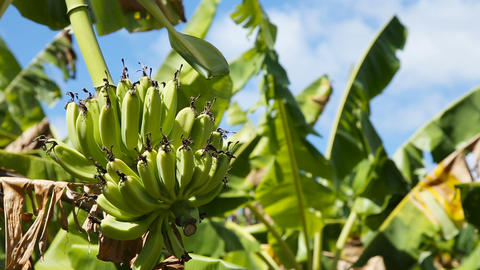 Fruits of bananas on a banana tree Footage