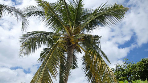 Coconut tree and blue sky with clouds Footage