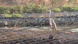 Grey heron standing Footage