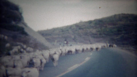 1956: Flock of sheep herding down middle of highway street Footage
