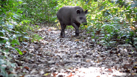 Tapir Walking through a Jungle Footage