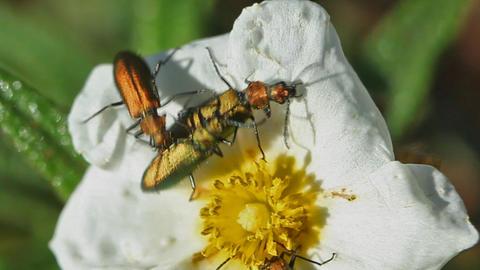 beetles Footage