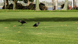 Two western jackdaw birds on green lawn. Take dry leaf in beak, then put down Footage