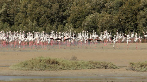 Large flamingos flock on shallow water at Ras Al Khor Wildlife Sanctuary Footage