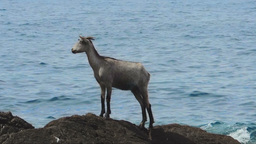 Wild Goat On A Distant Rock In The Sea 영상물