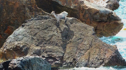 Desperate Wild Goat On A Rock In The Sea Footage