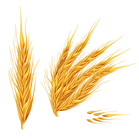 Ears of wheat on white background フォト