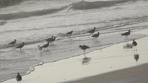 Group of Birds Along the Shoreline Footage