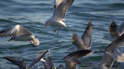 Seagulls Fly Over Ocean in Slow Motion Footage