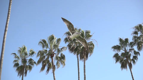 Seagull Flying Past Palm Trees Footage
